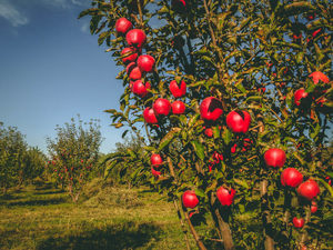 The Last Wild Apple Forests