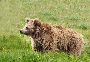 Email x1 himalayan brown bear pakistan
